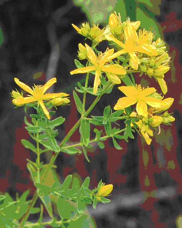 fiori gialli officinali
