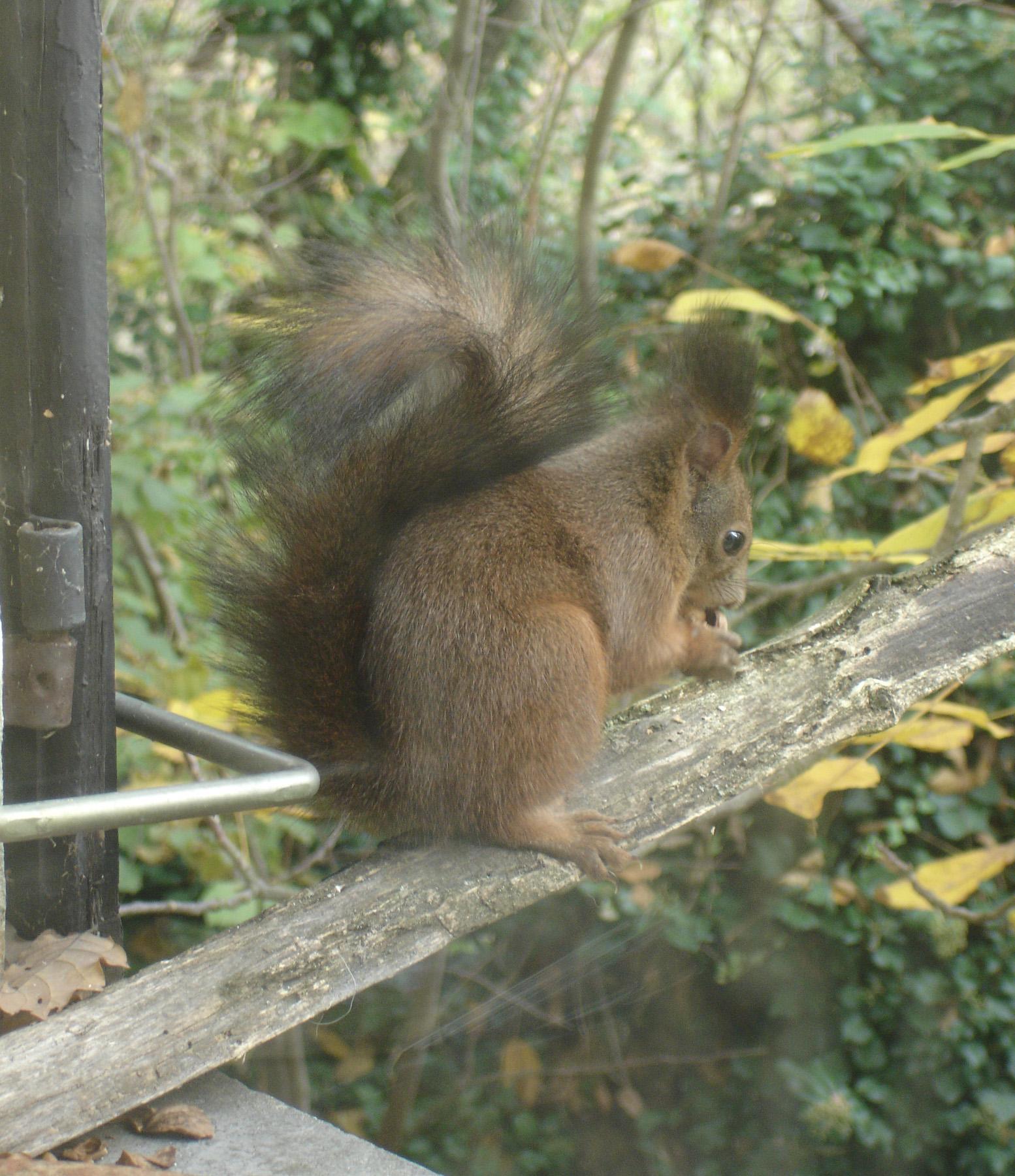 scoiattolo con noce